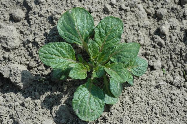 Flora west europa - Comment planter les patates ...